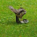 Hawk Attack