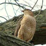 Hawk IV