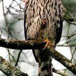 Hawk with foot showing thru belly feathers