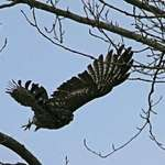 Hawk flying to Land on Branch