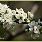 Hawthorn Flowers or May Flowers
