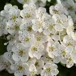 Hawthorn blossom