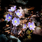 Hepatica Group