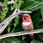 Here He Is!  Male Rufous Hummingbird