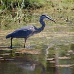 Heron Fishing in the Pond