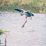 Heron coming in for landing