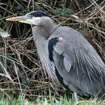 Heron beside brambles