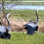 Heron Courtship Ritual4