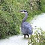 Heron  in deeper water