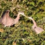 Herons - Female Accepts Gift