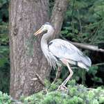 Great Blue Heron - just found gift for mate