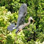 Great Blue Heron - Graceful Wings