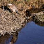 Reflection of a Great Blue Heron - natural habitat