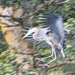 Great Blue Heron - putting on the brakes