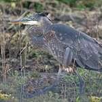 Heron in marshland