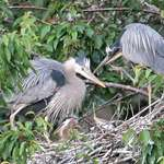Great Blue Herons-Doting Parents & Babies