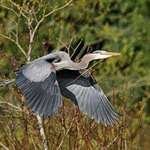 Heron Carrying stick for nest building