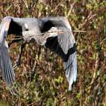 Heron flying with sticks for nest