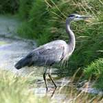Heron in the Stream