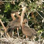 Herons- Larger Youngsters, waiting for food