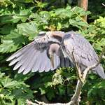 Wild Heron showing his wing