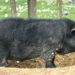 Tasked Hog