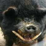 Hog Face-0n