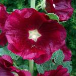 Red Hollyhock