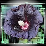 Hollyhock in Black