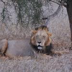 Honeymoon Lion