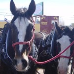 Draft horses - the other part