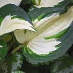 Hostas in My Garden
