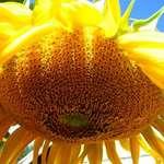 Hot Sun-Flower