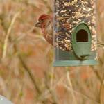 House finch or Purple Finch?