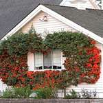 House with Colourful Berries at front