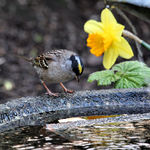 How Deep is This?  - Gold Crowned Sparrow
