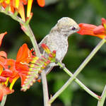 Hummingbird- Beak deep inside flower, feet  on stem