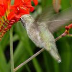 Hummingbird in flight 2, on our patio