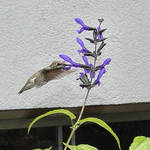 Hummingbird - Blue Sage- side view 2