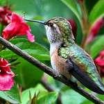 Hummingbird & Weigela flowers