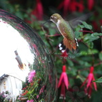 Hummingbird Admiration at Gazing Ball