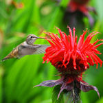 Hummingbird at Monarda
