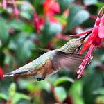 Hummingbird at Perennial Fuchsias