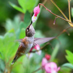 Hummingbird & Bleeding Heart flower 2008