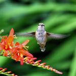 Hummingbird - front view