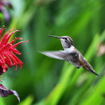 Hummingbird in Flight towards Bee Balm flower
