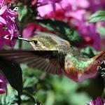"Hummingbird ""In the Pink"""