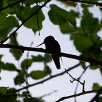 Hummingbird in the trees