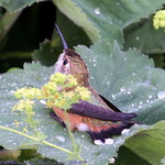 Hummingbird Leaf Bathing