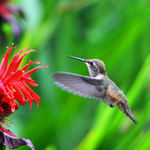 Hummingbird, pollen on beak & head